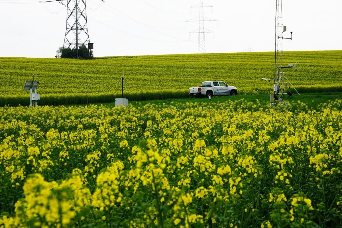 Sentinel rapeseed bloom